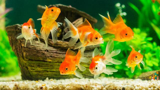 11 Jenis Ikan Hias Air Tawar Yang Mudah Dipelihara Pt Sdi